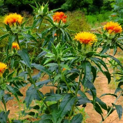 Dried and Everlasting Flowers seeds - DF 311261 Carthamus tinctorius