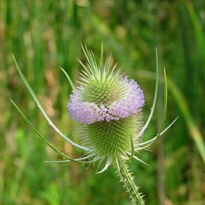 Dried and Everlasting Flowers seeds - DF 311477 Dipsacus sativus