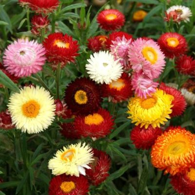Dried and Everlasting Flowers seeds - DF 312014 Helichrysum bracteatum