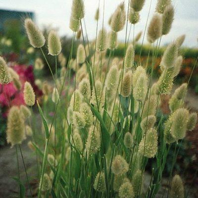 Dried and Everlasting Flowers seeds - DF 313312 Lagurus ovatus