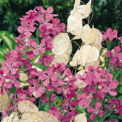 Dried and Everlasting Flowers seeds - DF 311034 Lunaria annua
