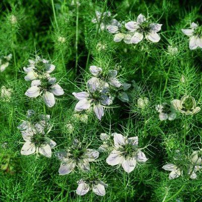 Σπόροι αμάραντων και αποξηραμένων λουλουδιών - DF 311133 Nigella sativa