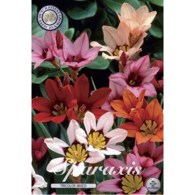 02095 Sparaxis Tricolor