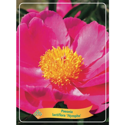 Herbaceous Peony – 1346199 Nymphe