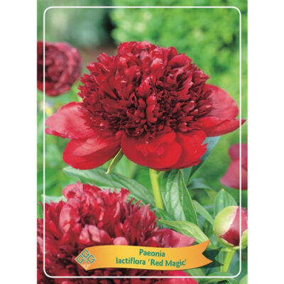 Herbaceous Peony – 1346204 Red Magic