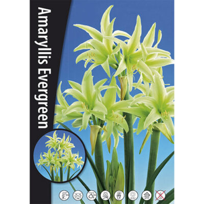 15190 Amaryllis Evergreen