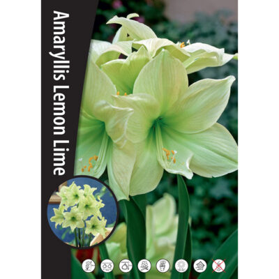 15205 Amaryllis Lemon Lime