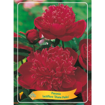 Herbaceous Peony – 1564824 Diane Parks