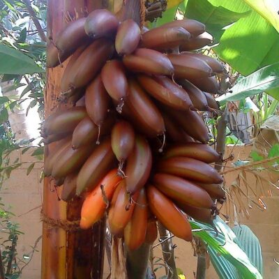 EF 12304661 Red Banana - Κόκκινη Μπανάνα (Musa acuminata)