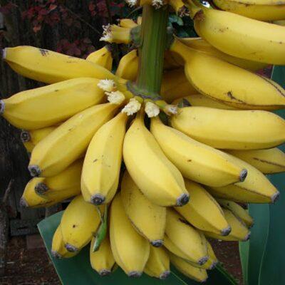 EF 12304662 Banana - Μπανάνα (Musa x paradisiaca)