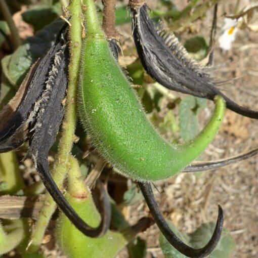 EF 12302246 Ram's horn, Devil's claw - Κέρατο κριού, Νύχι του Διαβόλου (Proboscidea louisianica)