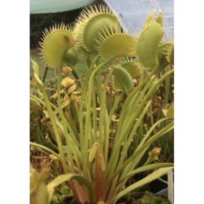 Σπόροι σαρκοφάγων φυτών – 20227 Dionaea muscipula «Creeping Death»