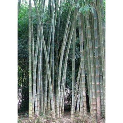 30011 Dendrocalamus sericeus Phai Sang Mon