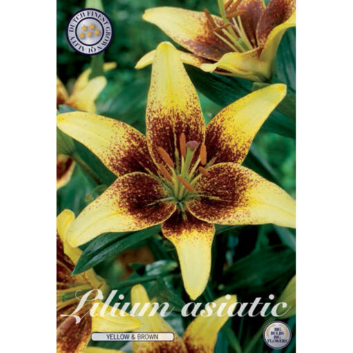40293 Lilium Yellow & Brown