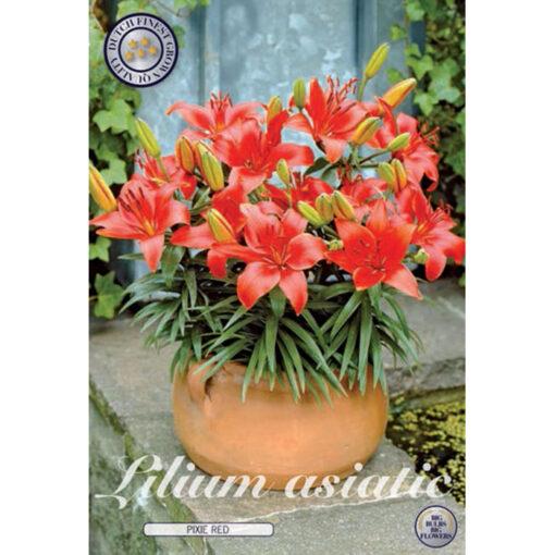40280 Lilium Pixie Red