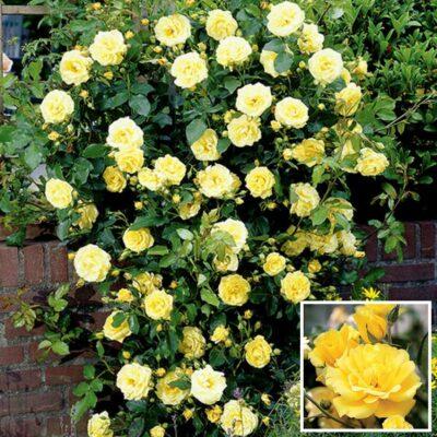 Τριανταφυλλιά σε γλάστρα VS338605 – Golden Climber