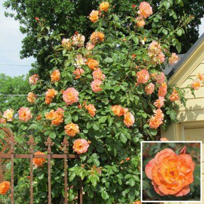 Τριανταφυλλιά σε γλάστρα VS38462 – Westerland