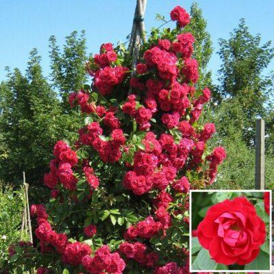Τριανταφυλλιά σε γλάστρα VS38600 – Flammentanz