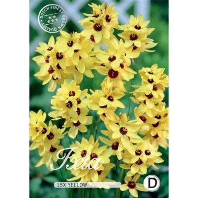 40331 Ixia Yellow Emperor