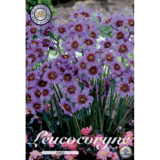 40334 Leucocoryne Andes