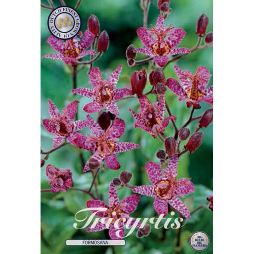 40436 Tricyrtis Formosana