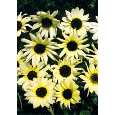 Sunflower Seeds – 13035 Italian White Heart (Helianthus debilis)