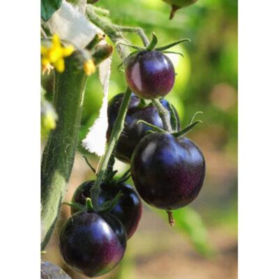 20245 Indigo Rose – Ντομάτα – Lycopersicon esculentum