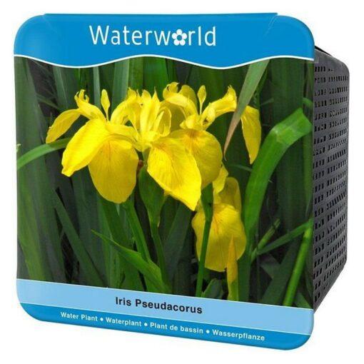 Y 130 Iris pseudacorus