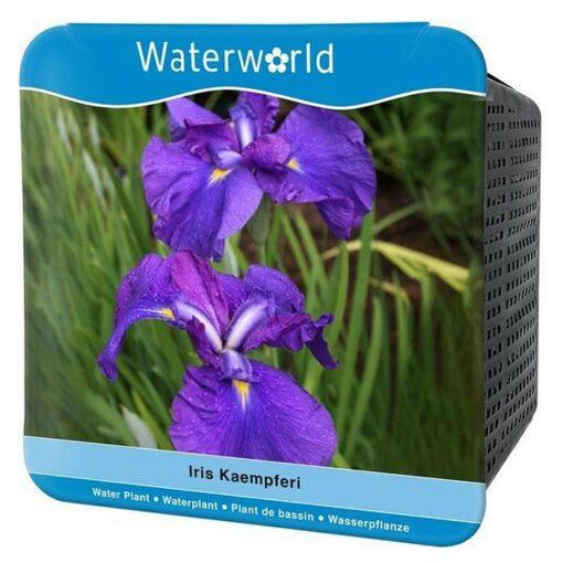 Y 140 Iris kaempferi – ensata
