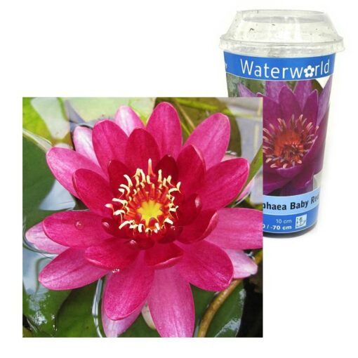 Y 953 Nymphaea Baby Red
