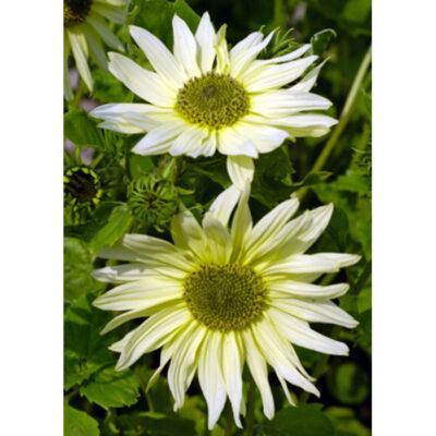 Sunflower Seeds – 13039 Italian Green Heart (Helianthus debilis)