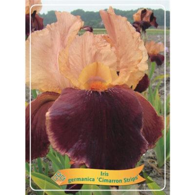 Ίρις - Iris Germanica - 1721326 Cimarron Strips