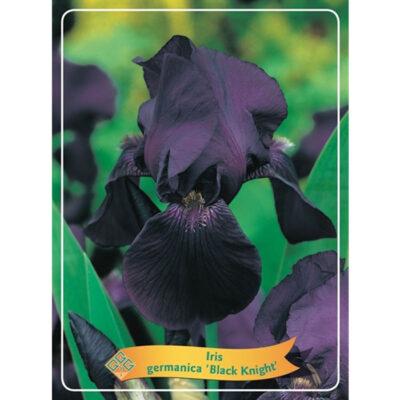 Ίρις - Iris Germanica - 1721328 Black Knight