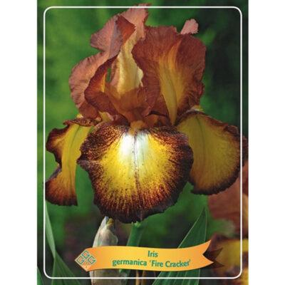 Ίρις - Iris Germanica - 1721330 Fire Cracker