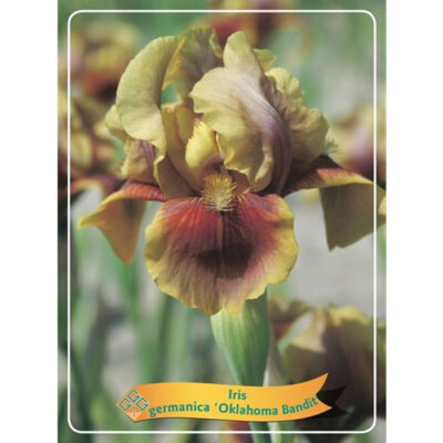 Ίρις - Iris Germanica - 1721342 Oklahoma Bandit