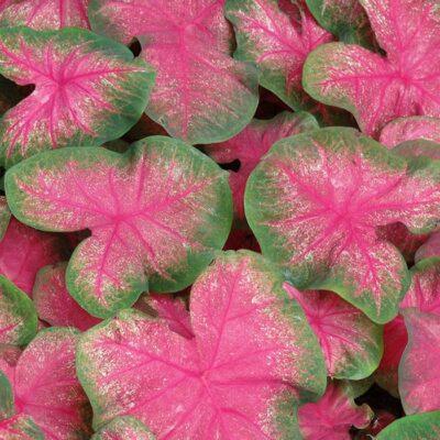 Caladium - C 5677 Classic Pink