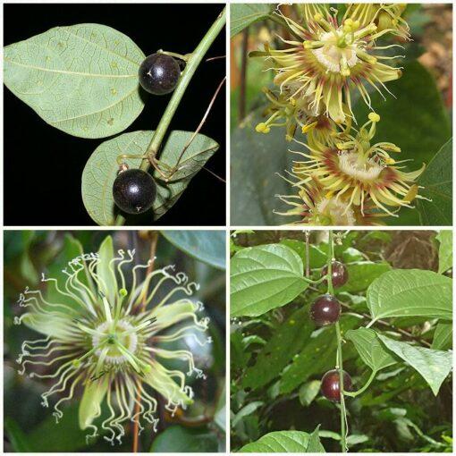 ΜΤ 16708 Passiflora Black Granadilla – Πασσιφλόρα, Φρούτο του πάθους (Passiflora auriculata)