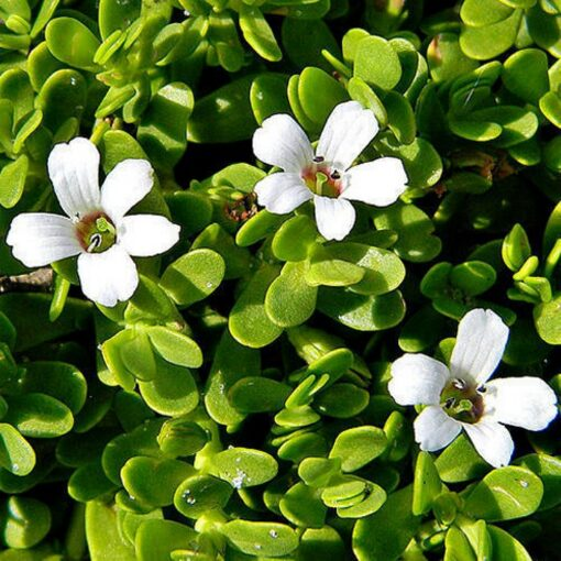 ASK 1012 Bacopa moniera - Μπράχμι