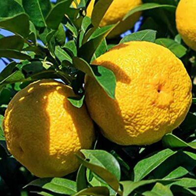 EF 12335492 Yuzu (Citrus junos)