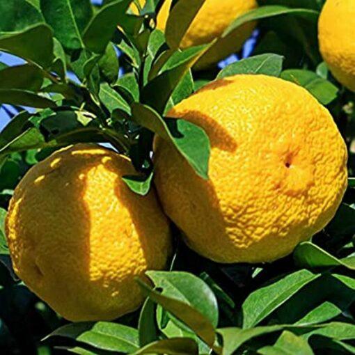 EF 12335492 Yuzu - Γιούζου (Citrus junos)