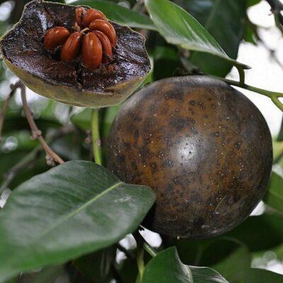 EF 12301399 Black Sapote - Λωτός σοκολάτα (Diospyros nigra)