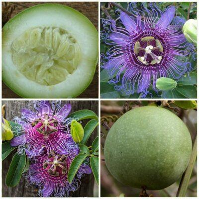 ΜΤ 16710 Passiflora Maracuja do mato - Πασσιφλόρα, Φρούτο του πάθους (Passiflora cincinnata)