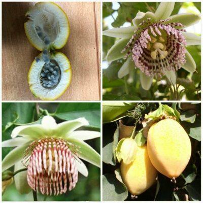 ΜΤ 16711 Passiflora de Bolivia - Πασσιφλόρα, Φρούτο του πάθους (Passiflora nigradenia)