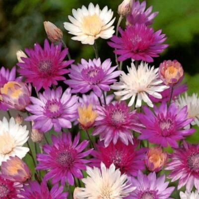 Dried and Everlasting Flowers seeds – DF 314850 Xeranthemum annuum